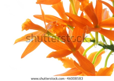 Orange branch of orchids isolated on white background