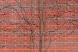 Orange brick wall covered with dry creeping plant, Vine climbs on the red brick blocks texture, Abstract geometric pattern, Old outdoor building background.