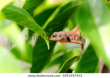 orange brown thai chameleon perching on branch of White Champaka tree #1091447453
