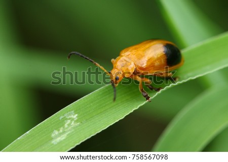 Orange bug on the leaves in green natural  blur background. #758567098