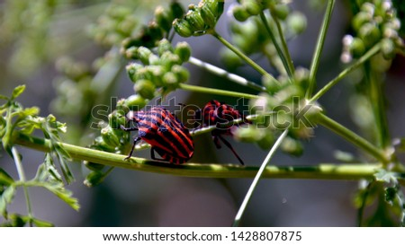Orange bug with black stripes (Graphosoma lineatum) #1428807875