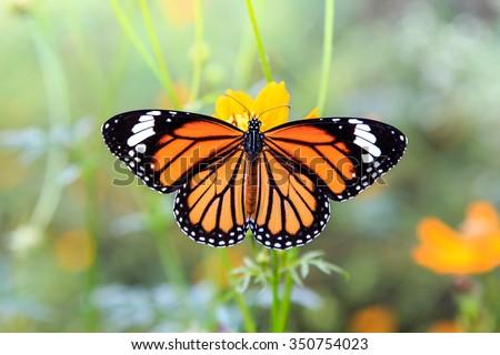 Orange butterfly on orange cosmos flowers Stock photo ©