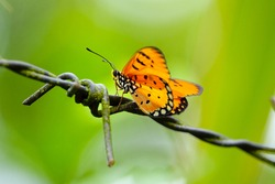 orange butterfly over barbed wire on blurry background,select focus with shallow depth of field.