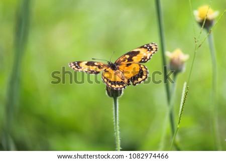 orange butterfly polonizing flower Stock photo ©