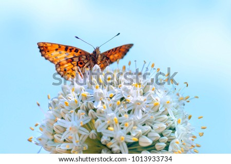 Orange butterfly spread its wings on a white fluffy flower against a blue sky in nature in spring summer, macro.