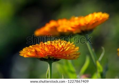 Orange calendula flowers. Blooming marigold flowers. Orange calendula on a green grass. Garden with calendula. Garden flowers. Nature flowers in garden. Blooming calendula.