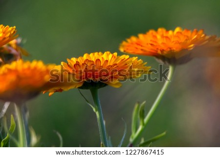 Orange calendula flowers. Blooming marigold flowers. Orange calendula on a green grass. Garden with calendula. Garden flowers. Nature flowers in garden. Blooming calendula.