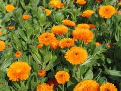 Orange calendula officinalis flowers in full bloom in spring garden