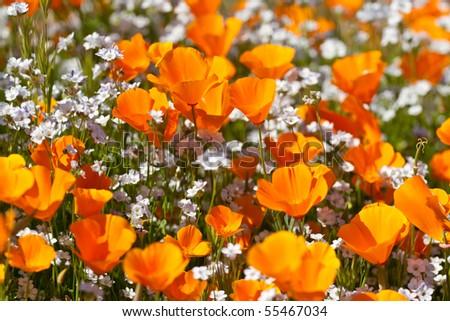 Orange California Poppies with white Popcorn flowers