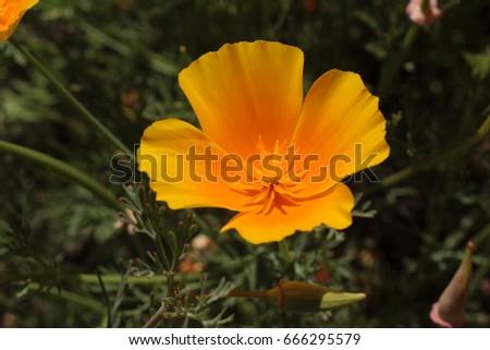 Orange californian poppy flower or golden poppy california orange californian poppy flower or golden poppy california sunlight cup of gold in st gallen switzerland its latin name is eschscholzia californica mightylinksfo