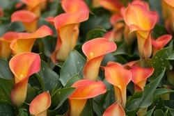 Orange Calla lily (Zantedeschia aethiopica, Arum lily, Varkoor)