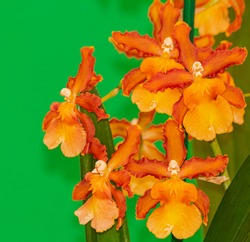 Orange Cambria Catatante orchid, blooming with green background