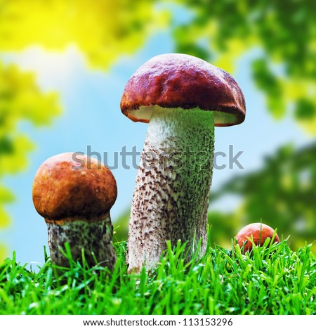 Orange Cap Boletus mushrooms (Leccinum aurantiacum) growing in the forest