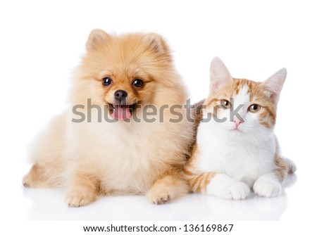 orange cat and spitz dog together. looking at camera. isolated on white background