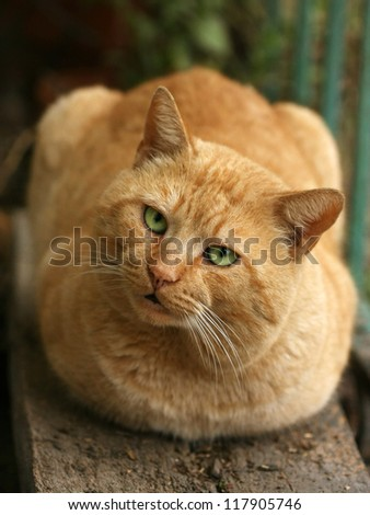 Orange cat lying on a wooden chair looking up with funny face