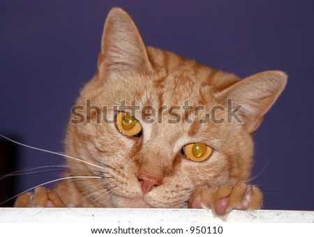 Orange cat, resting his face on his paw,  looking down over a wooden ledge.