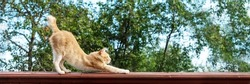 Orange cat stretching outdoors, side view of ginger kitty standing on high fence. Domestic fluffy feline animal spending time outside. Furry kitten against greet trees clear sky, rustic area, banner