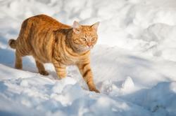 Orange cat walking in the snow