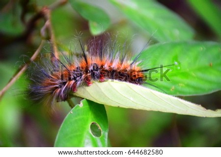 Orange caterpillar with white and black hair on the leaf in tropical forest #644682580