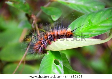 Orange caterpillar with white and black hair on the leaf in tropical forest #644682625