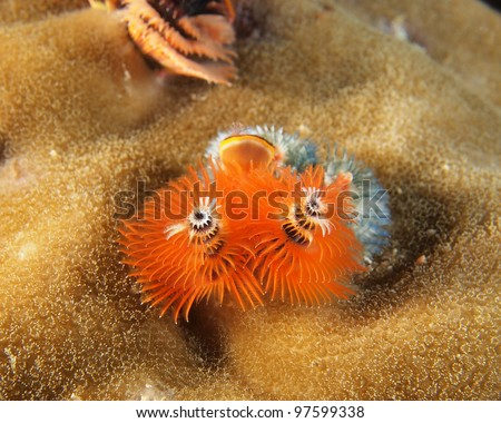 Orange Christmas tree worms (Spirobranchus giganteus) on big coral reef, indo-pacific ocean.