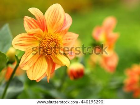Orange chrysanthemum flower yellow flower spring flower ez canvas orange chrysanthemum flower yellow flower spring flower mightylinksfo