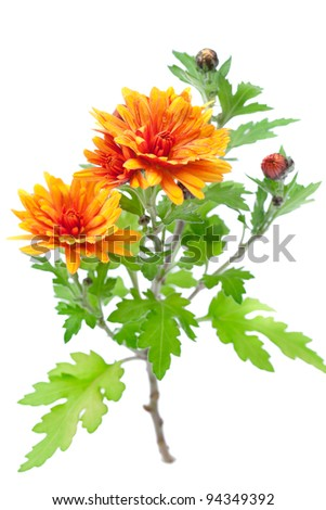 Orange chrysanthemum flowers with leaves, isolated on white