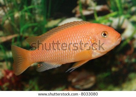 Cichlid Fish Center Orange Cichlid Fish