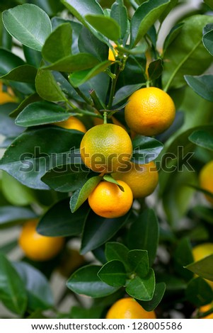 Orange (Citrus Fortunella) tree