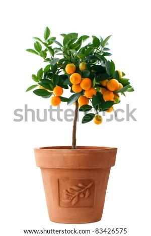 Orange (Citrus Fortunella) tree in Italian style flower pot isolated on white/Little orange tree in flower pot isolated/Little orange tree