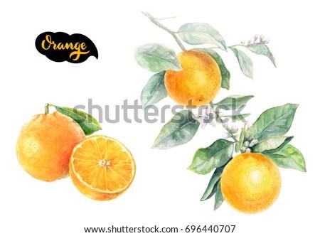 Orange Citrus fruit isolated on white background, watercolor illustration