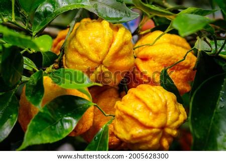 Orange citrus fruits grow on citrus garden. Furrowed bitter orange Citrus × aurantium 'Canaliculata' fruits with rain drops on tree. Citrus aurantium Canaliculata or bitter orange or bitter mandarin.