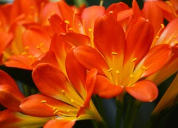 Orange clivia flowers.Clivia is considered a plant that belongs to the family of Amaryllis