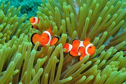 Orange clownfish (Amphiprion ocellaris) nemo in the green anemone. Underwater macro photography, colorful tropical fish. Scuba diving on the coral reef. Anemonefish underwater. Marine life.