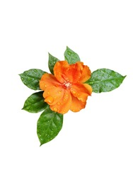 Orange color flower isolated on white background.  with clipping path.