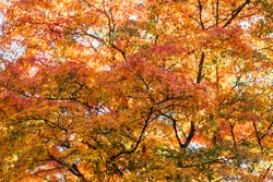 orange color maple, Falling autumn leaves in the garden with copy space for text, natural background for season change and vibrant colorful foliage concept