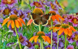 Orange coneflowers and painted tongue with resting mourning cloak butterfly