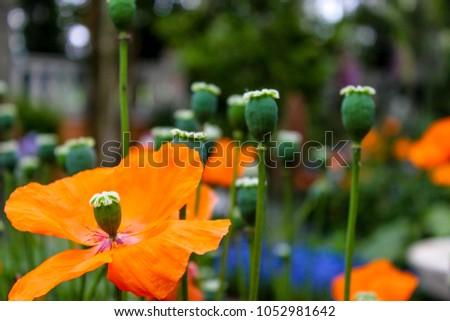 Orange corn poppy, closed and poppies