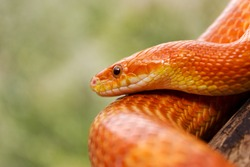 Orange corn snake crawling on a branch and looking forward on green blurred background