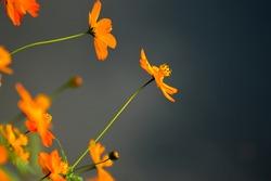 Orange cosmos on dark background