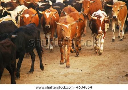 Orange County Fair Corriente Steer Cattle Drive on the beach