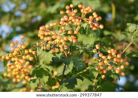 Orange cranberry branch on the tree in summer home garden