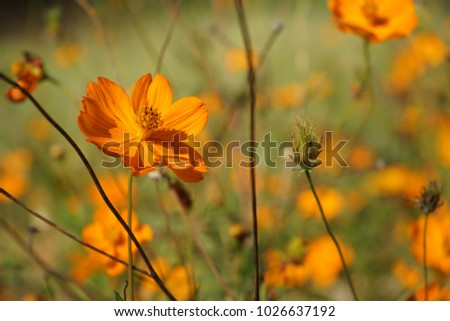 Orange crush cosmos #1026637192