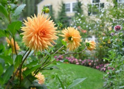 Orange dahlia in the garden. Semi cactus flower heads, spiky  petals, blooming in late summer and autum.