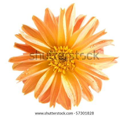 Orange dahlia isolated on a white background