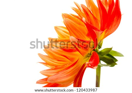 Orange dahlia isolated on white background - stock photo