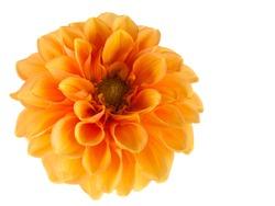 orange dahlia on white background