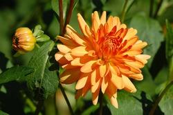 Orange Dahlia with bud and leaves