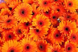 Orange daisy flowers