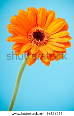 Orange Daisy Gerbera Flower on blue background - stock photo